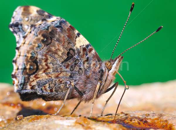 Pillangó tavasz rovar vadvilág Stock fotó © asturianu