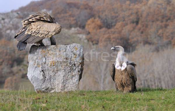 Griffon vulture perched on a stone Stock photo © asturianu