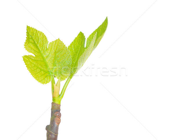 Fig Tree. Stock photo © asturianu