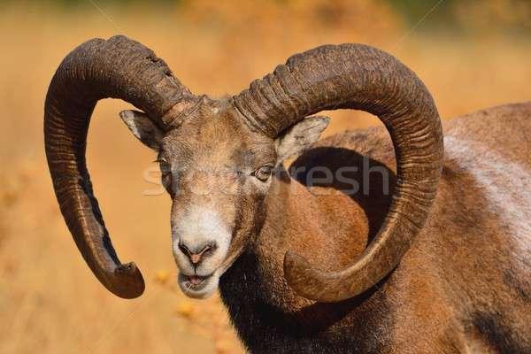 European mouflon in the field. Stock photo © asturianu