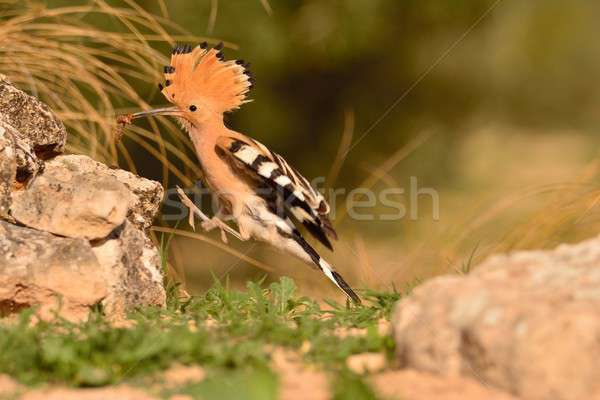 Eurasian Hoopoe or Upupa epops, beautiful brown bird. Stock photo © asturianu