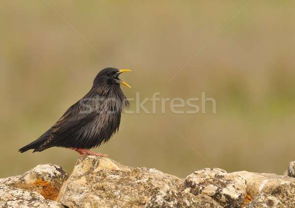 Spotless starling perched on a stone Stock photo © asturianu