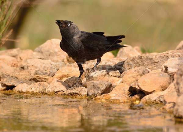 Western jackdaw drinking water in a pond. Stock photo © asturianu