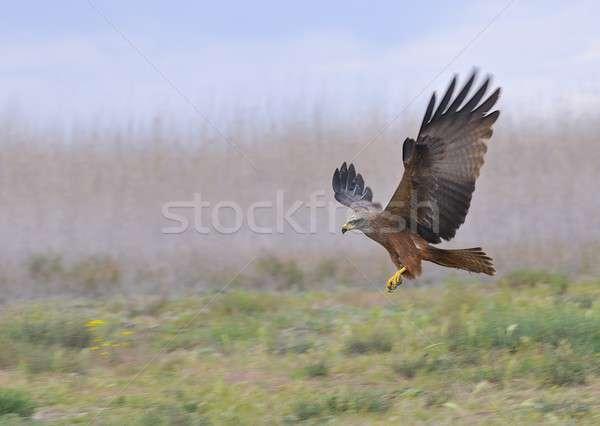 черный кайт полет посадка природы Сток-фото © asturianu