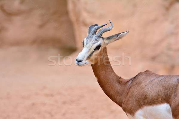 Close-up of antelope, impala. Stock photo © asturianu