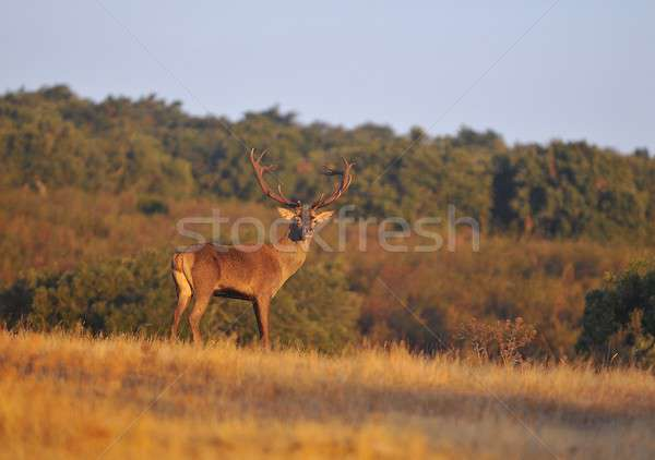 A adult red deer stag. Stock photo © asturianu