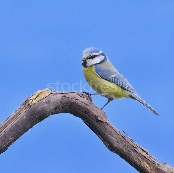 синий Тит природы птица Сток-фото © asturianu