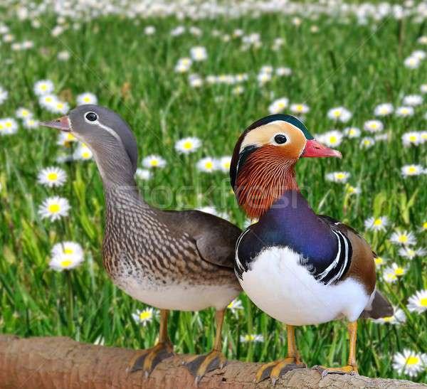 Mandarijn- paar gras licht schoonheid hoofd Stockfoto © asturianu