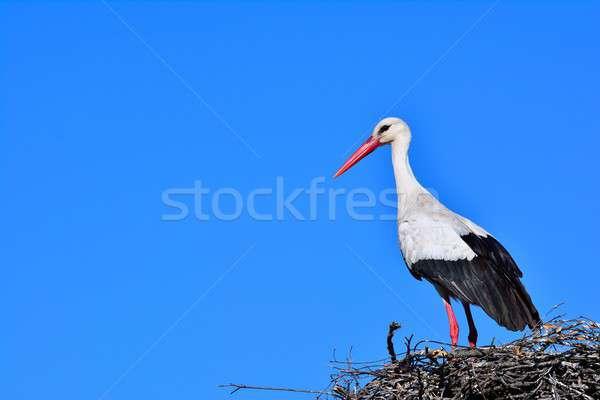 Primo piano bianco cicogna nido vista laterale natura Foto d'archivio © asturianu