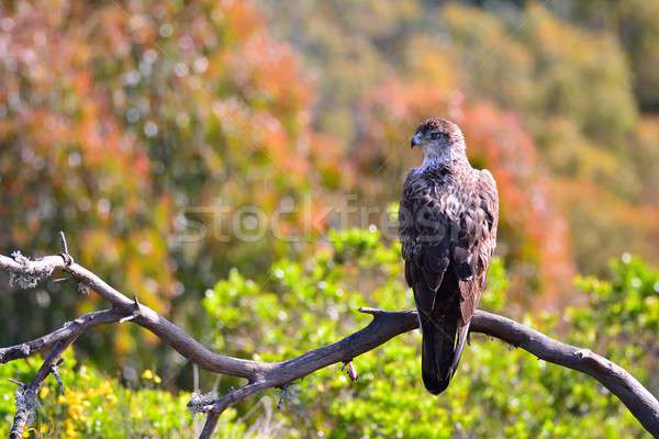 Bonelli's Eagle on tree branch Stock photo © asturianu