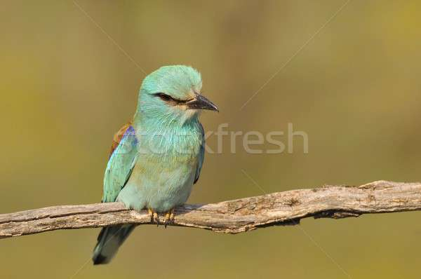 European roller perched on a branch. Coracias garrulus. Stock photo © asturianu