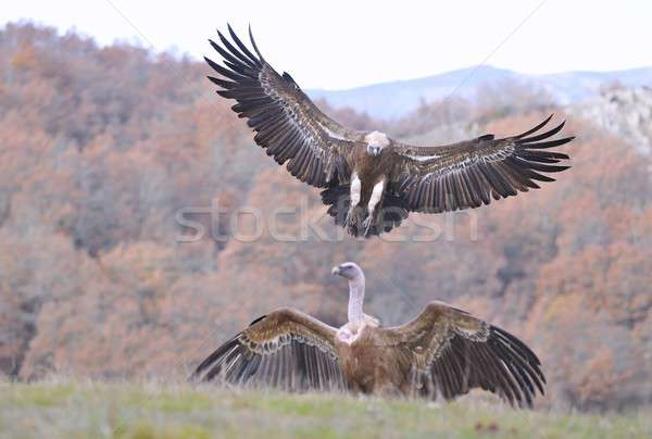 Griffon vulture landing on the meadow. Stock photo © asturianu