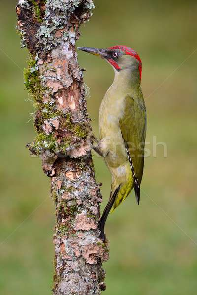 Male european green woodpecker on a branch Stock photo © asturianu