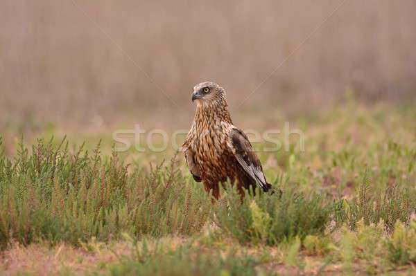 Male western marsh harrier, Circus aeruginosus Stock photo © asturianu