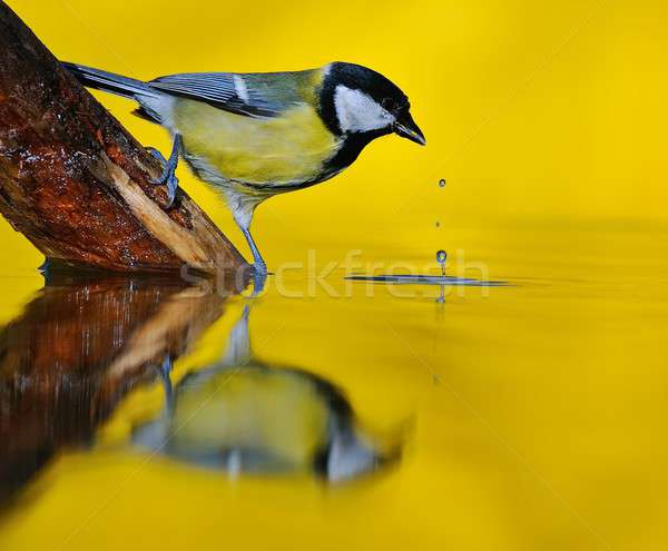 Great tit on river. Stock photo © asturianu
