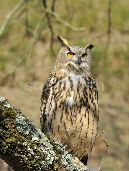 Eagle owl arbre forêt nature oiseau faune Photo stock © asturianu
