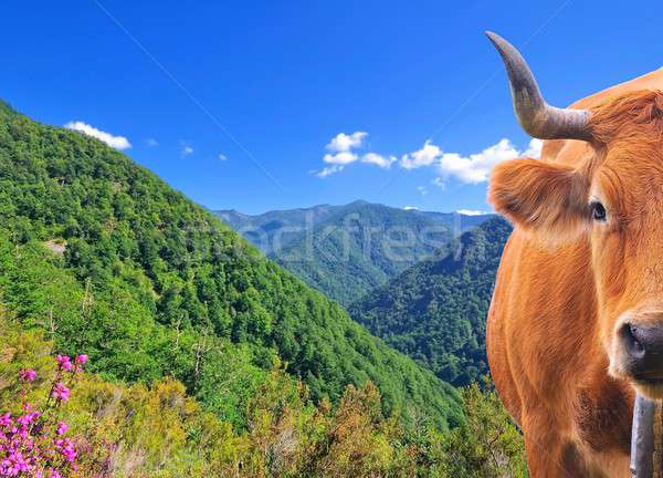 Cow in high mountains. Stock photo © asturianu