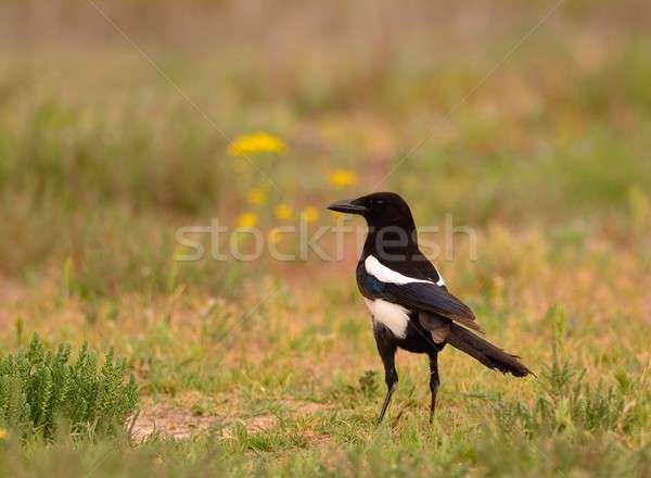 Europeu campo belo paisagem pássaro preto Foto stock © asturianu