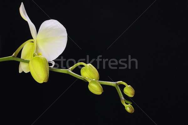 Orchidaceae on black background Stock photo © asturianu