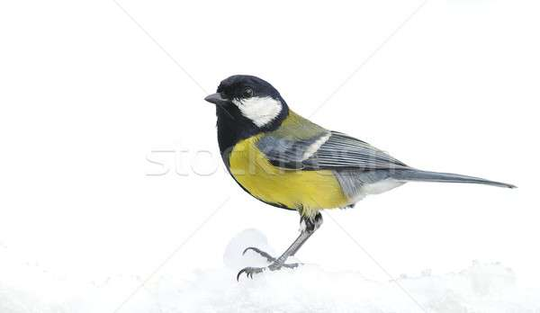Great tit in the snow. Stock photo © asturianu