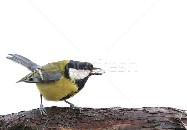 Isolated great tit. Stock photo © asturianu