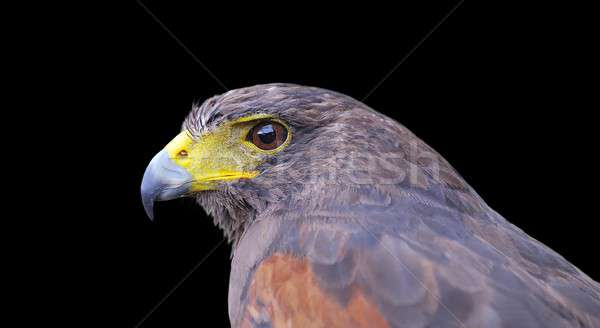 Side view of Harris hawk Stock photo © asturianu