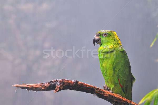 Auropalliata Amazon, tropical parrot. Stock photo © asturianu