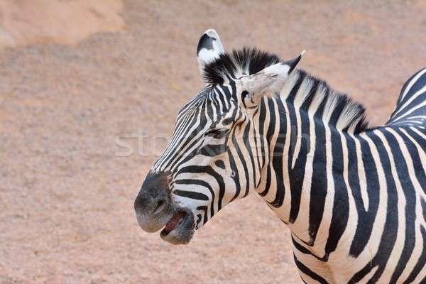 Zebra belo ao ar livre fundo Foto stock © asturianu