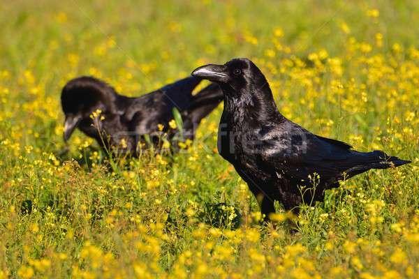 Dziedzinie kwiaty linii wiosną charakter ptaków Zdjęcia stock © asturianu