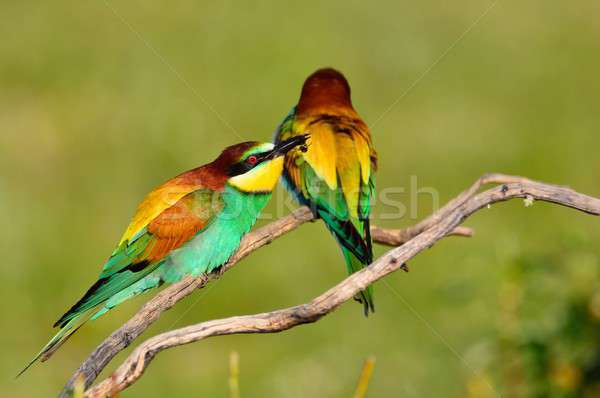 Couple of bee eaters on leafless branch Stock photo © asturianu