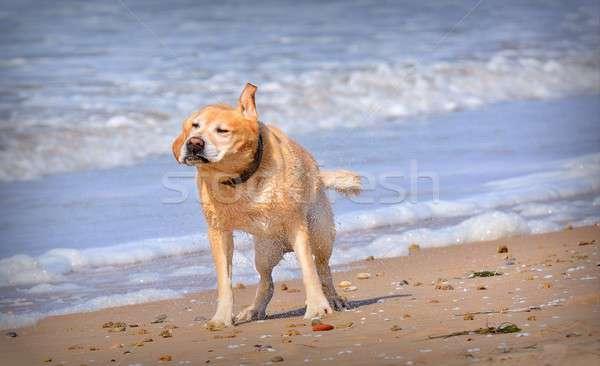 Umido cane acqua divertente spiaggia Foto d'archivio © asturianu