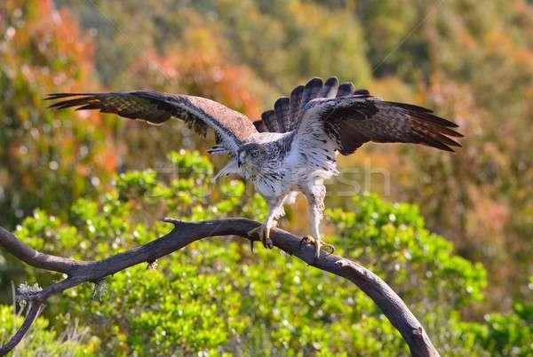 Férfi sas szárnyak kilátás gyönyörű fa Stock fotó © asturianu