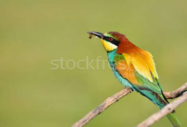 Bee-eater on leafless branch. Stock photo © asturianu