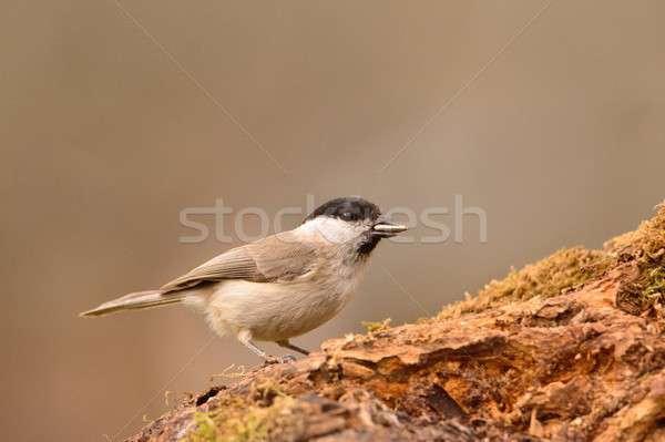 Тит филиала мох дерево птица Перу Сток-фото © asturianu