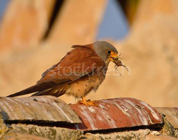 Lesser kestrel with an insect in its beak. Stock photo © asturianu