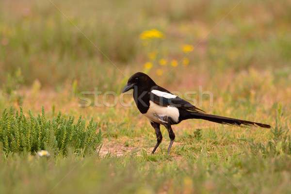 Stock photo: European magpie, magpie perching in the field.