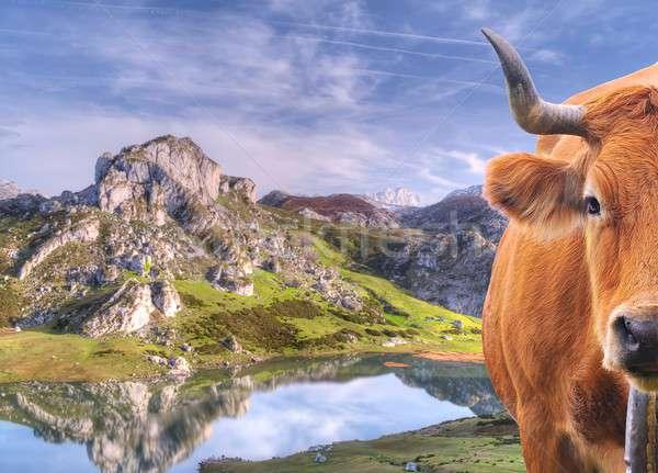Cow grazing. Stock photo © asturianu