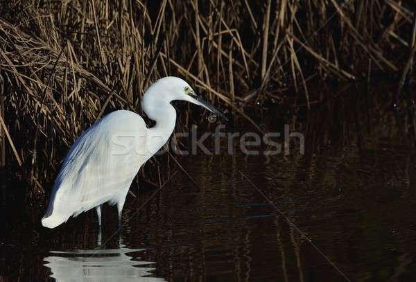 Stockfoto: Weinig · vee · reflectie · water · vogel · kleur