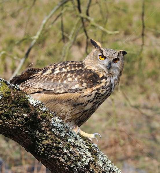 Oehoe boom bos ogen vogel groene Stockfoto © asturianu