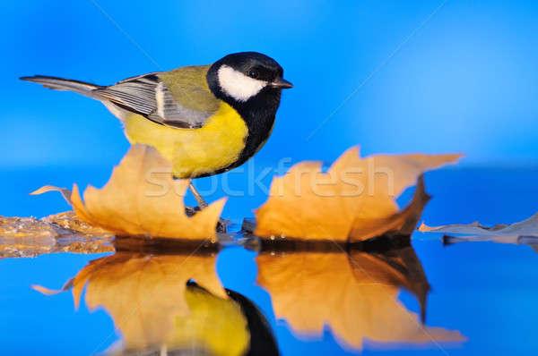 Close-up of tit sitting on autumnal leaves Stock photo © asturianu