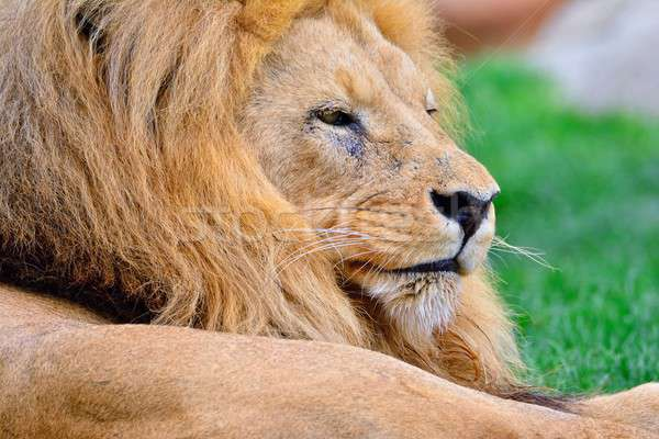 Lion lying on green grass Stock photo © asturianu