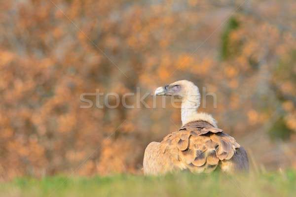 Griffon vulture in the meadow. Stock photo © asturianu