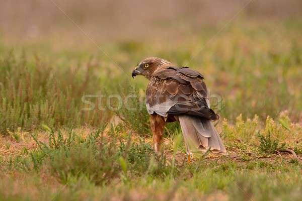 Male western marsh harrier, Circus aeruginosus Stock photo © asturianu