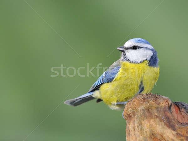 Niebieski tit charakter ogród piękna ptaków Zdjęcia stock © asturianu
