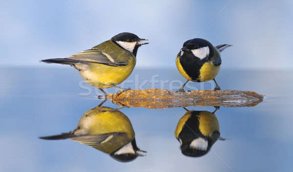 Great tits. Stock photo © asturianu