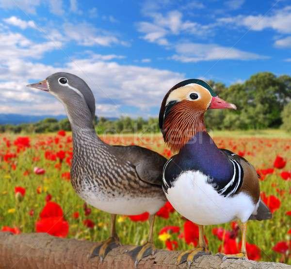 Mandarijn- paar veld klaprozen vogel groene Stockfoto © asturianu