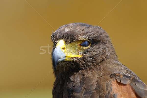 Dourado Águia marrom olho retrato cabeça Foto stock © asturianu