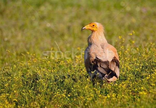 Egipcjanin sęp kwiecisty dziedzinie portret Afryki Zdjęcia stock © asturianu