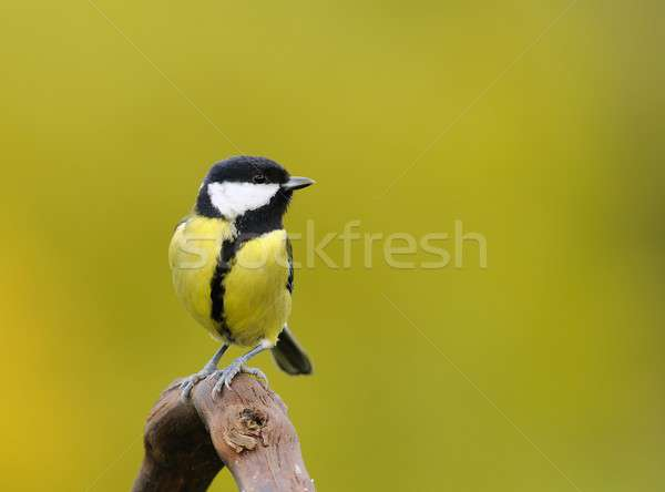Little tit sitting on branch against of yellow background Stock photo © asturianu