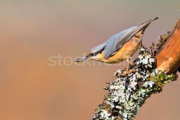 Tubería pico rama árbol madera forestales Foto stock © asturianu